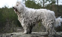 Komondor Background