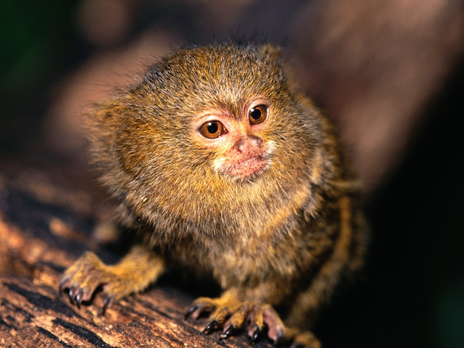 Marmoset monkey Desktop wallpapers