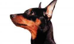 Miniature Pinscher Desktop wallpapers