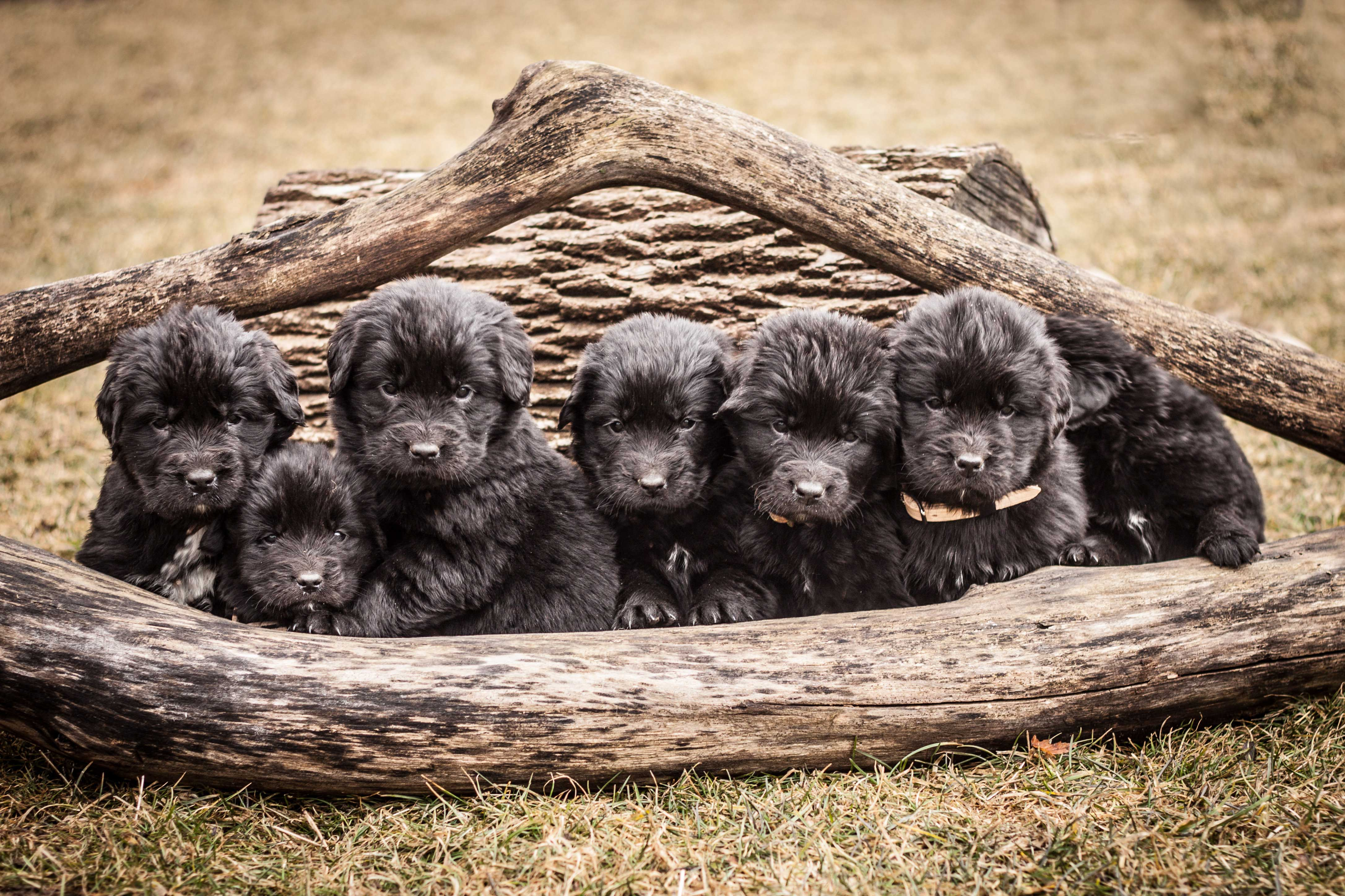 Newfoundland Dog Desktop wallpapers