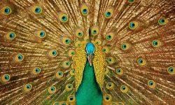 Peacock Desktop wallpapers