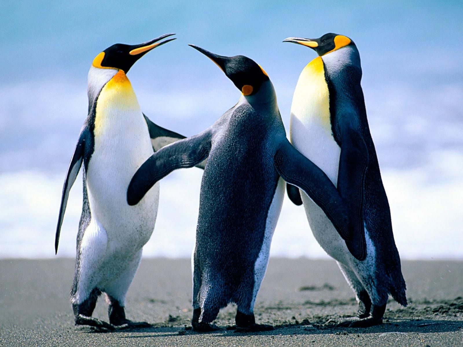 Penguin Desktop wallpapers