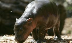 Pygmy hippopotamus Desktop wallpapers