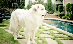 Pyrenean Mountain Dog Background