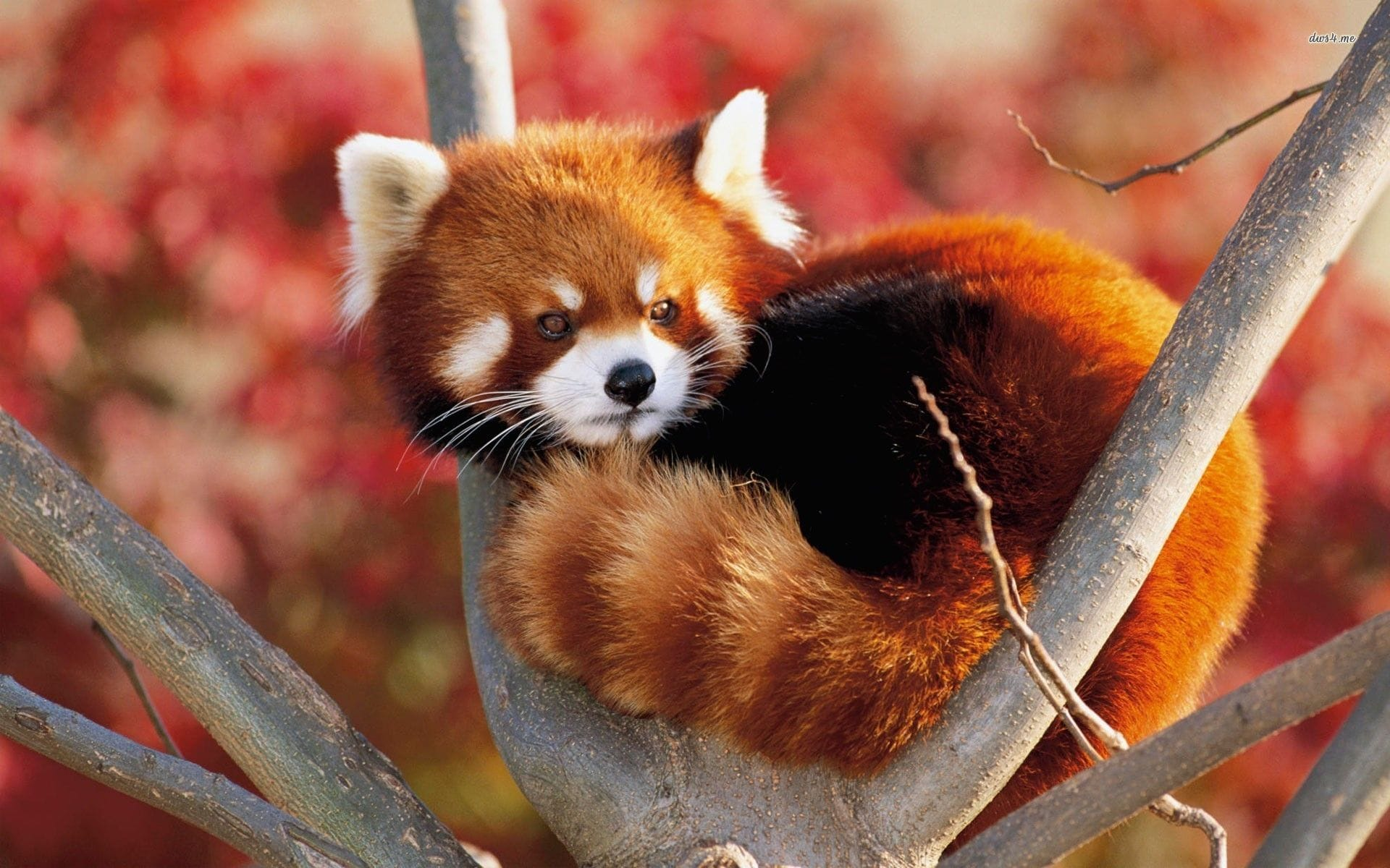 Red panda Desktop wallpapers