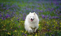 Samoyed Husky Desktop wallpapers