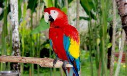 Scarlet macaw Desktop wallpapers
