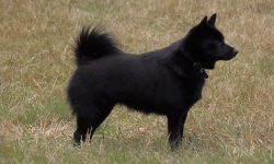 Schipperke Background