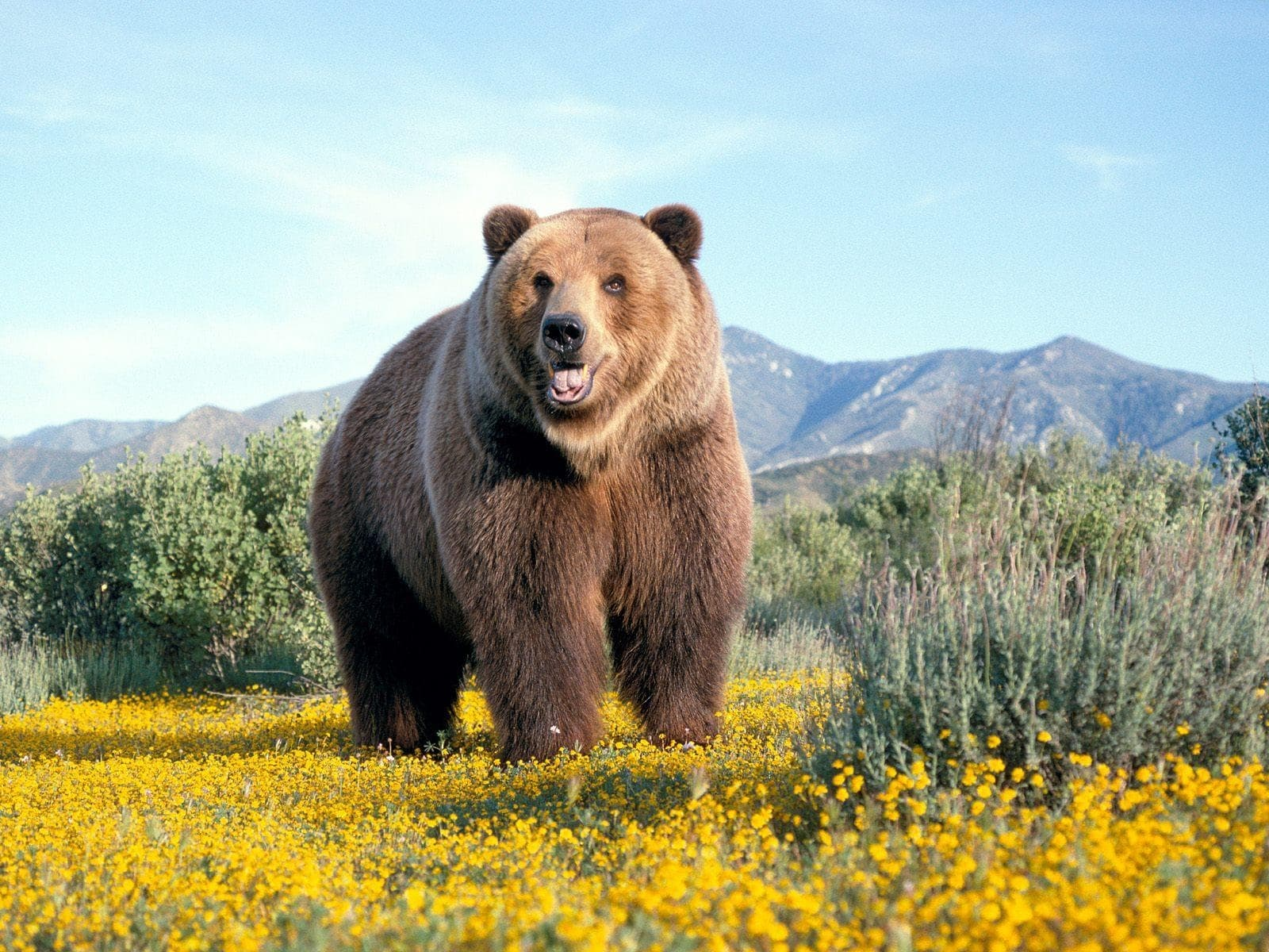 Bear for mobile