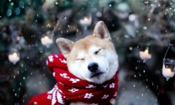 Akita Inu Background