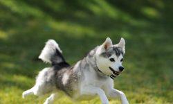 Alaskan Klee Kai HD pics