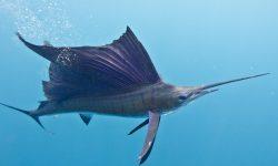 Atlantic sailfish Background