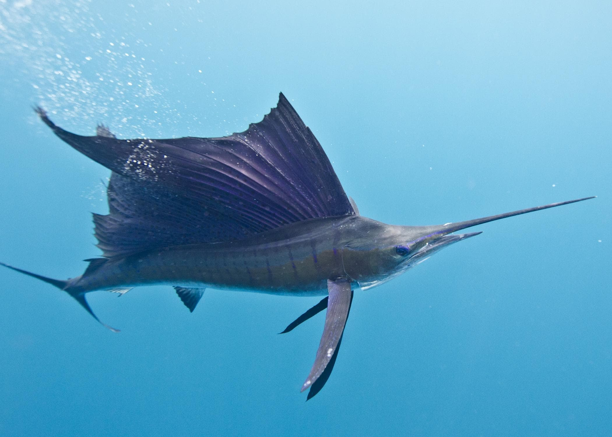 Atlantic sailfish Background