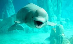 Beluga Whale Background