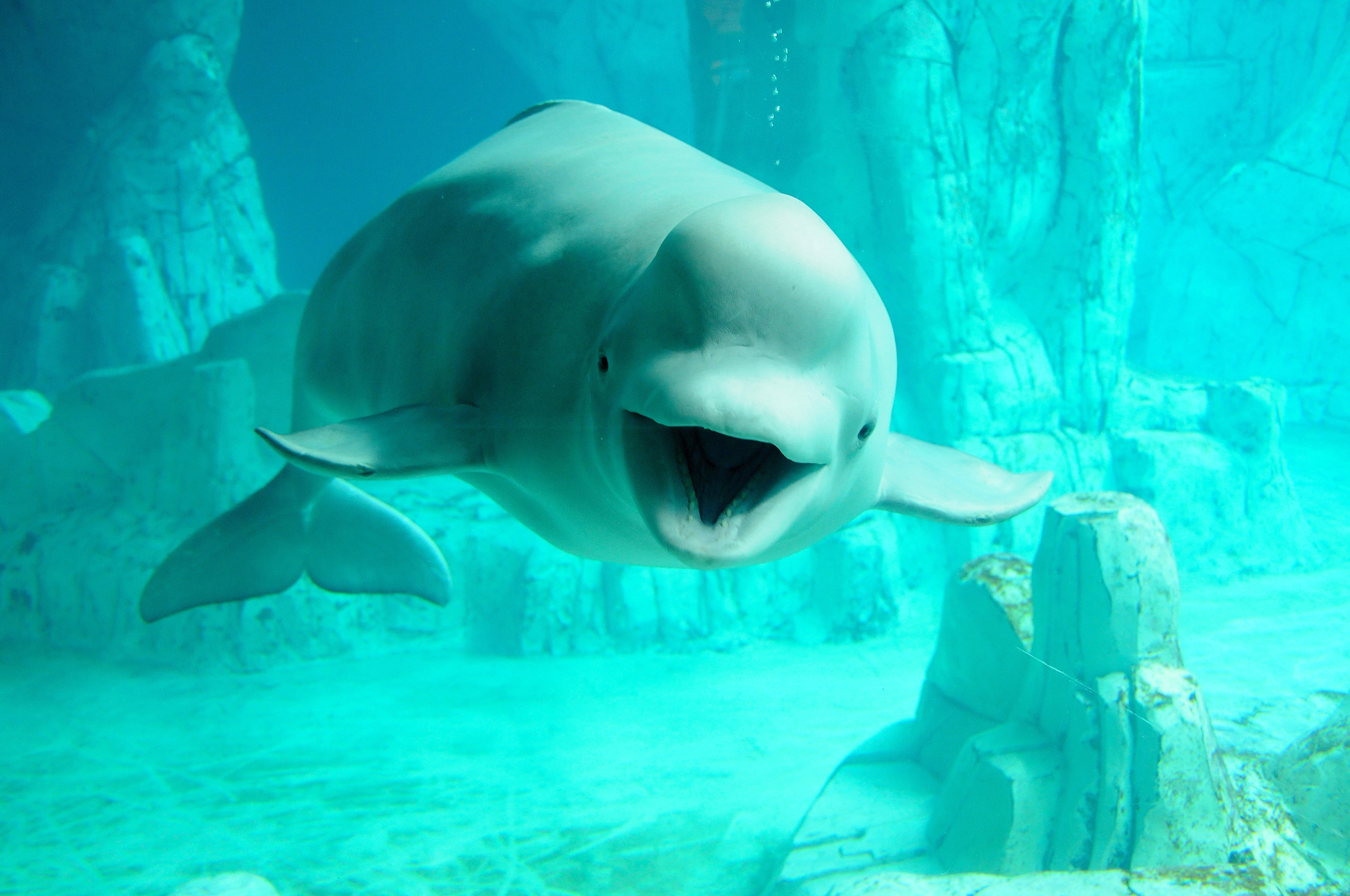 Beluga Whale Background