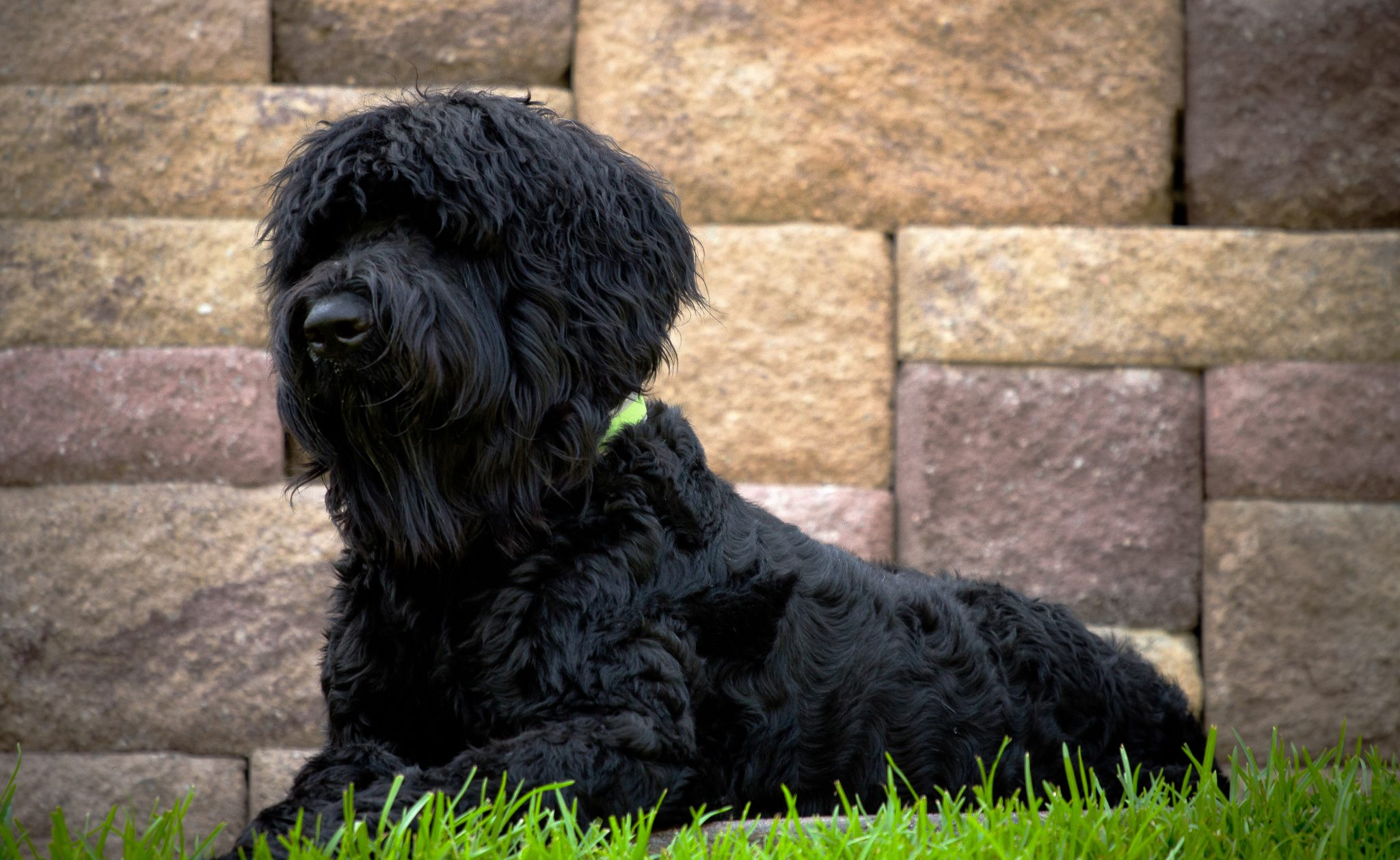 Black Russian Terrier Background