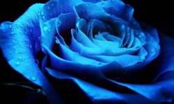 Blue Rose Background
