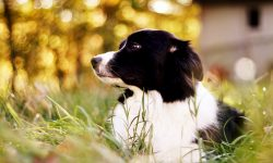 Border Collie Desktop wallpapers