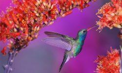Colibri Background