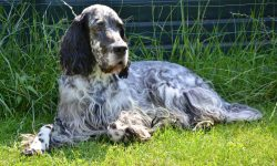 English setter Background
