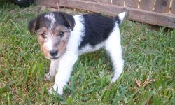 Fox Terrier Background