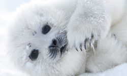 Harp seal Background