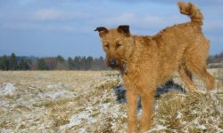 Irish Terrier Desktop wallpapers