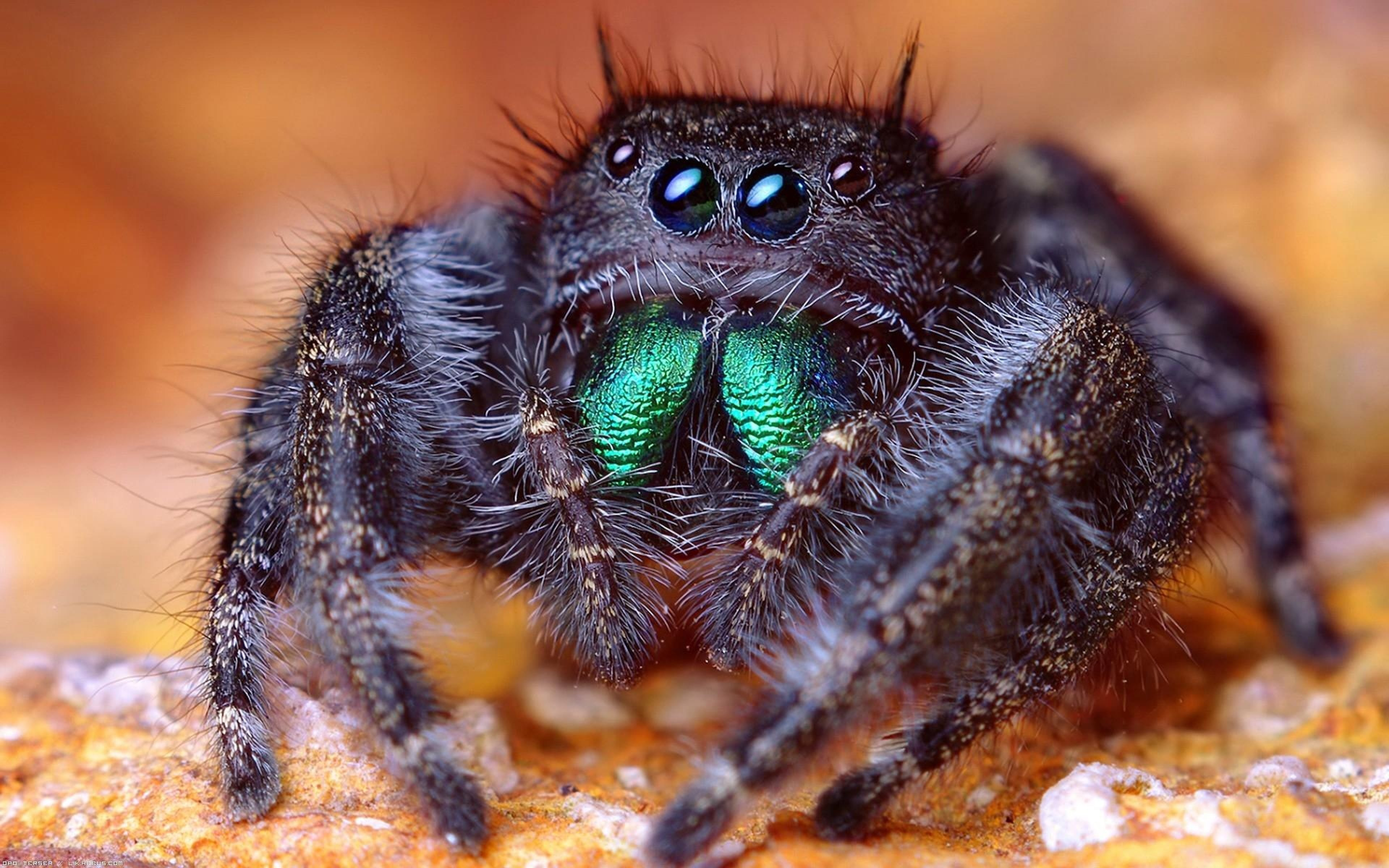 Jumping spider Background