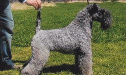 Kerry Blue Terrier Background