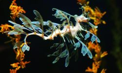 Leafy Seadragon Background
