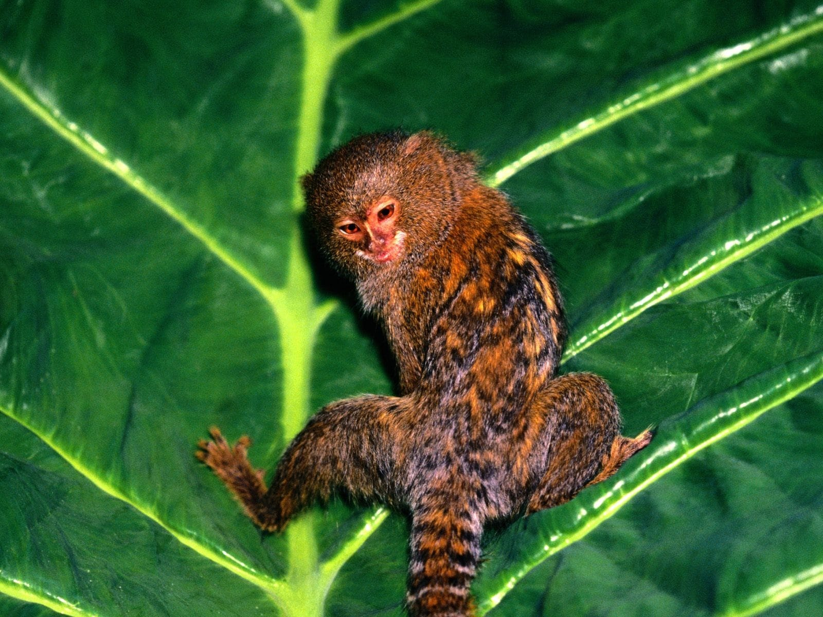 Marmoset monkey Background