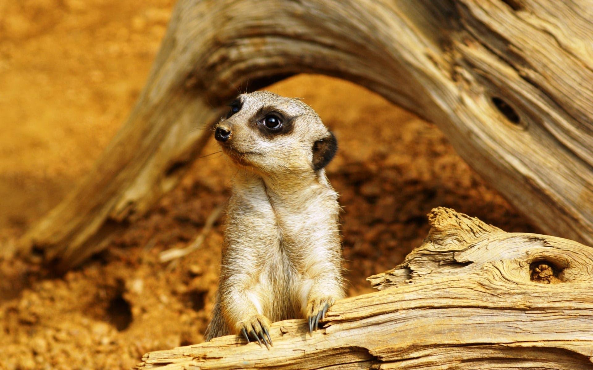 Meerkat Background