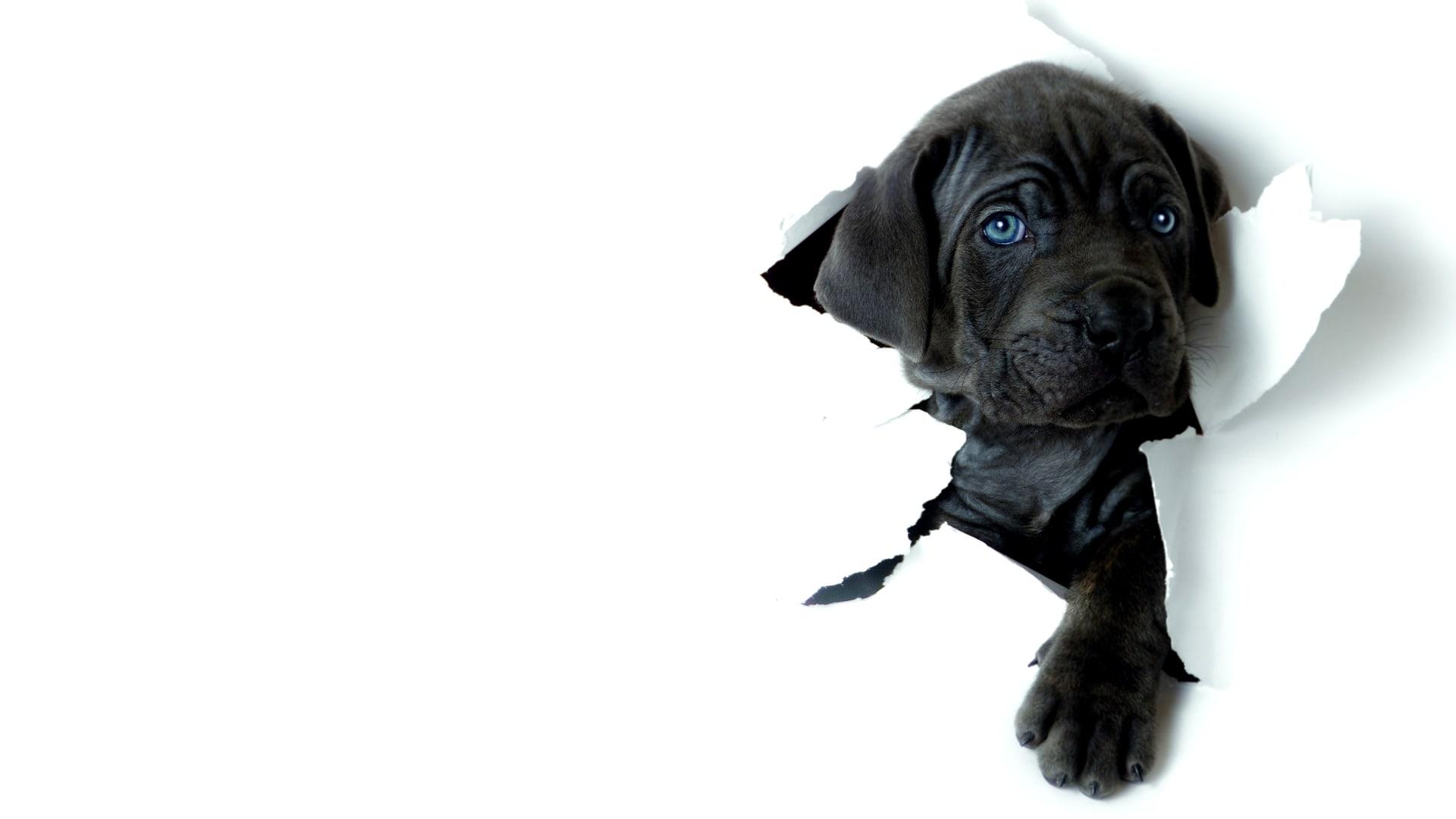 Neapolitan Mastiff Background
