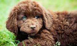 Newfoundland Dog Background