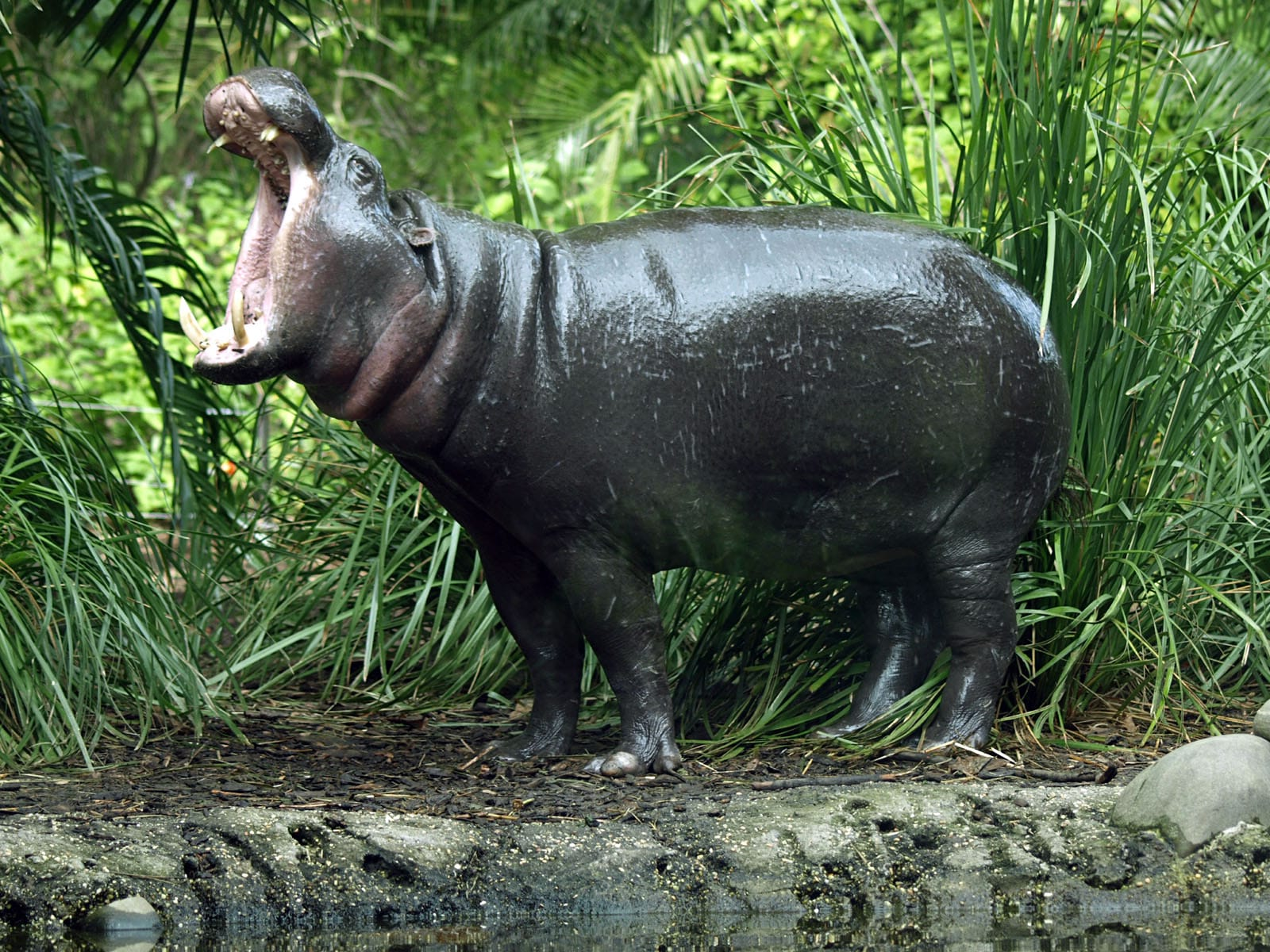 Pygmy hippopotamus Background