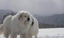 Pyrenean Mountain Dog Desktop wallpapers