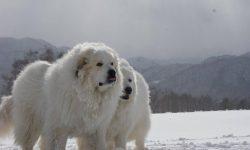 Pyrenean Mountain Dog Desktop wallpapers