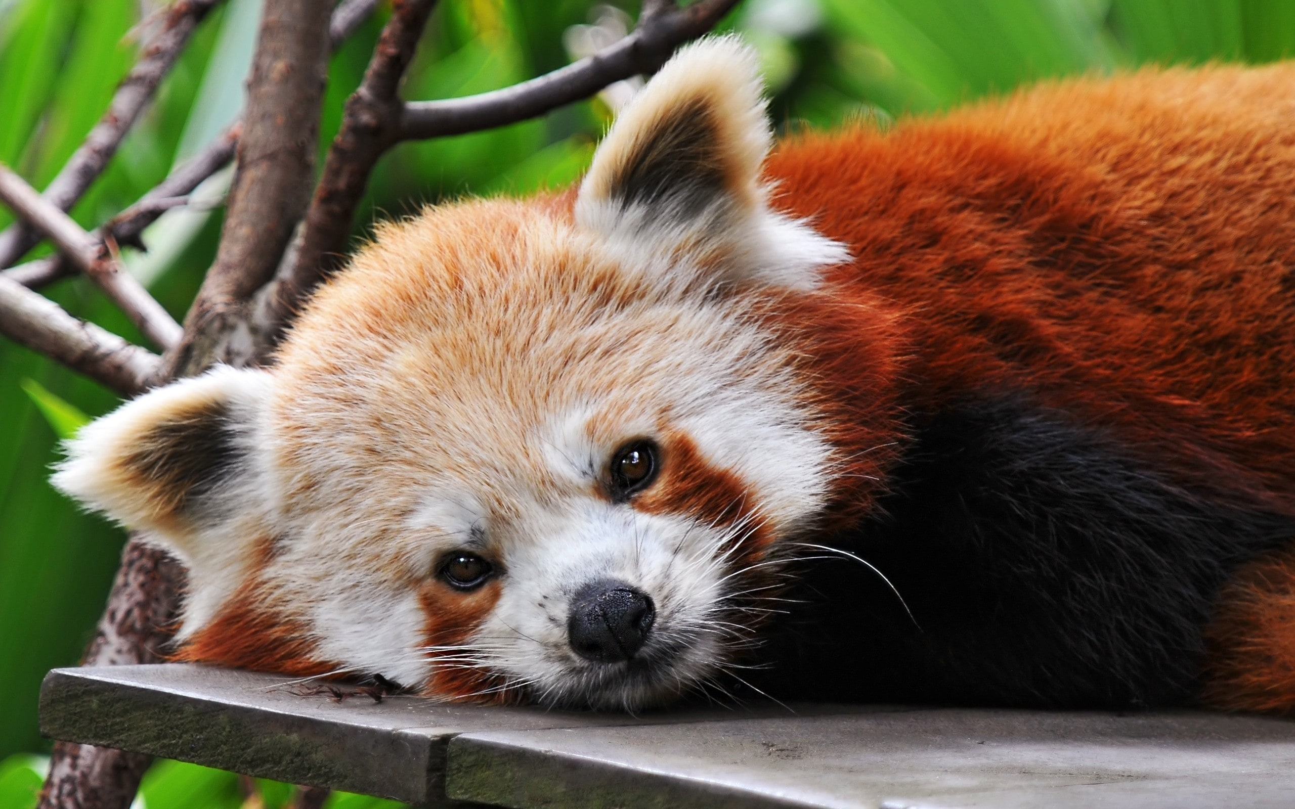 Red panda Background