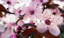 Sakura flower Background