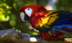Scarlet macaw Background