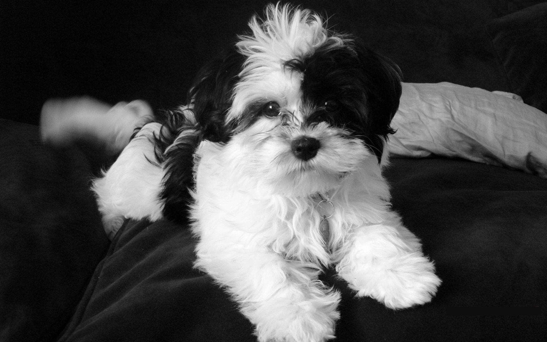 Shih Tzu Background