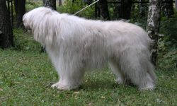 South Russian Sheepdog Background