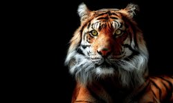 Tiger HQ wallpapers