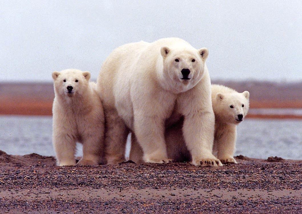 Bear widescreen wallpapers