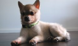 Alaskan Klee Kai Wallpapers hd
