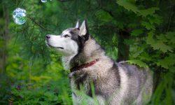 Alaskan Malamute HD pics