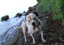 American Bulldog HD pics