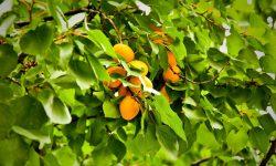 Apricot HD pics