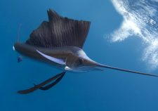 Atlantic sailfish HD pics