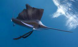 Atlantic sailfish HD pics